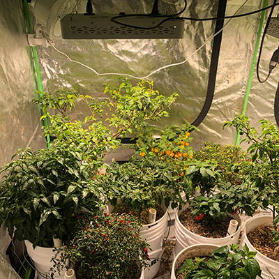 Tomato and pepper plants thriving inside of a grow tent.