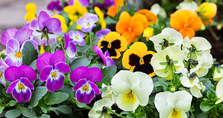 Les violettes de petites plantes solides au caractère tout doux