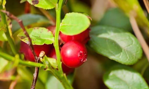 Arctostaphylos UVA URSI Has anti-oxidative, anti-inflammatory effects, gently brightens.