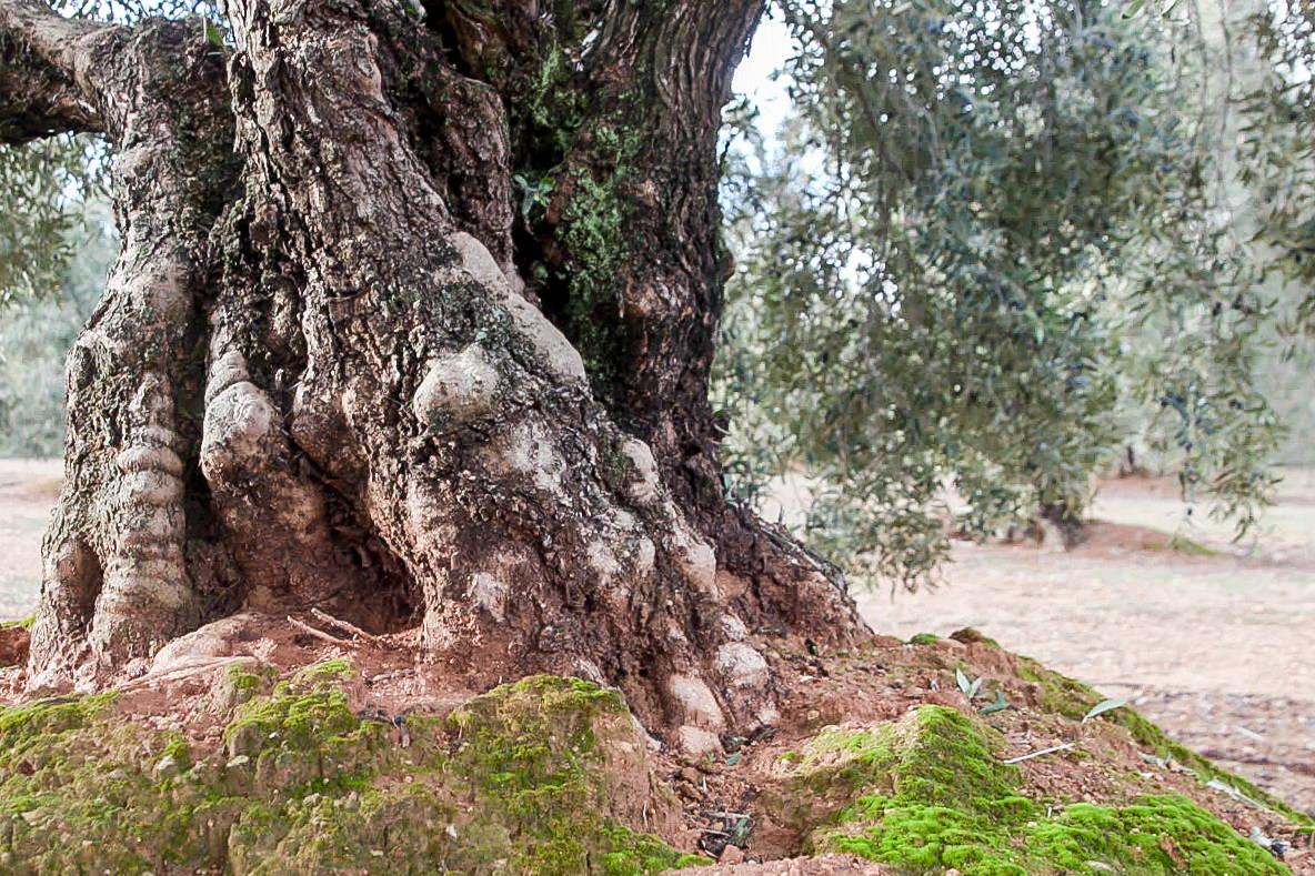 Old Olive Oil Tree