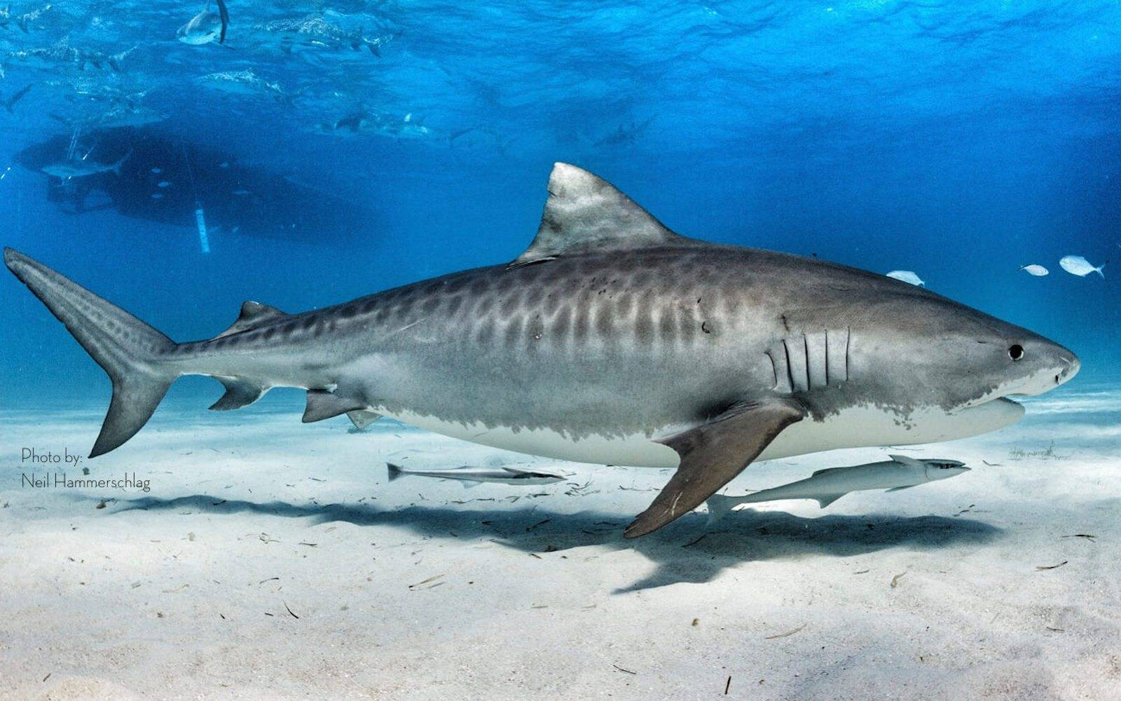 Tiger Shark Trailblazer Shorts