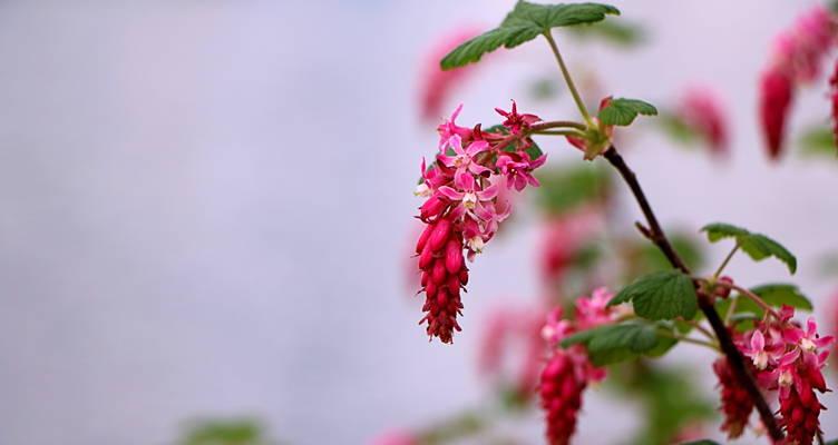 Pruning Flowering Currant