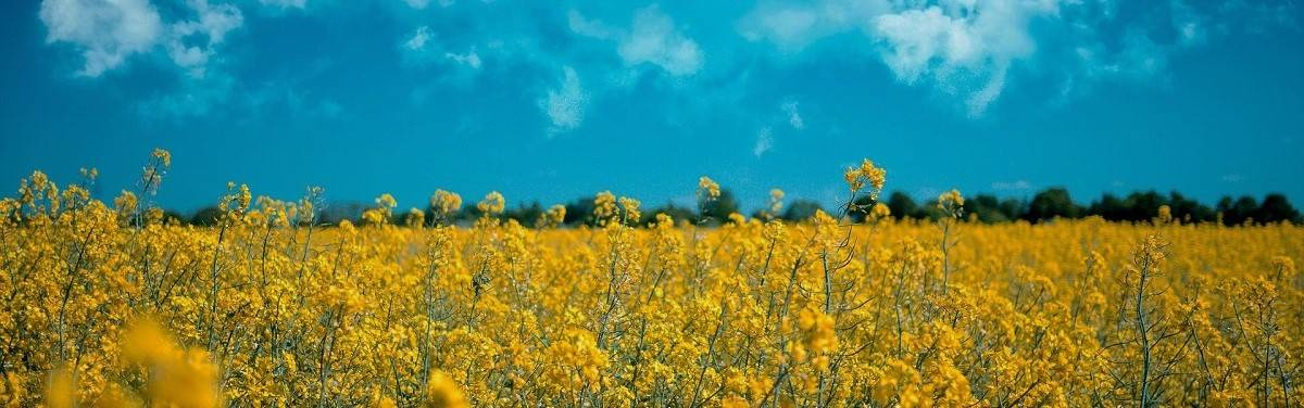 A field of rapeseed on a sunny day