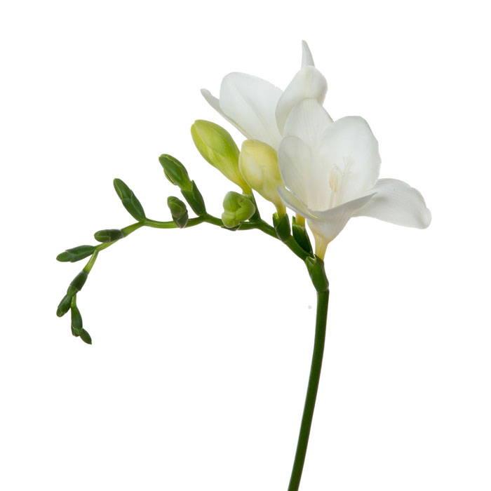 White Freesia - Turnbull Stakes Day