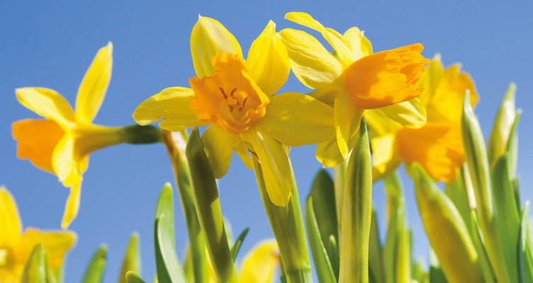 How to plant, grow and care for daffodil bulbs
