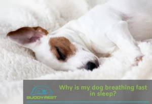 Why is my dog breathing fast in sleep?