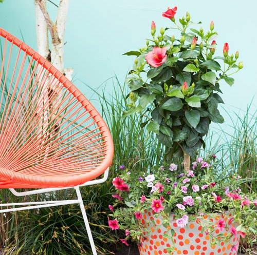 L'Hibiscus: originaire d'Asie