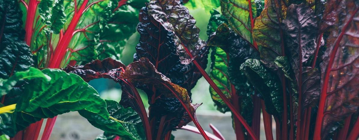 Vibrant organic chard growing in a raised bed
