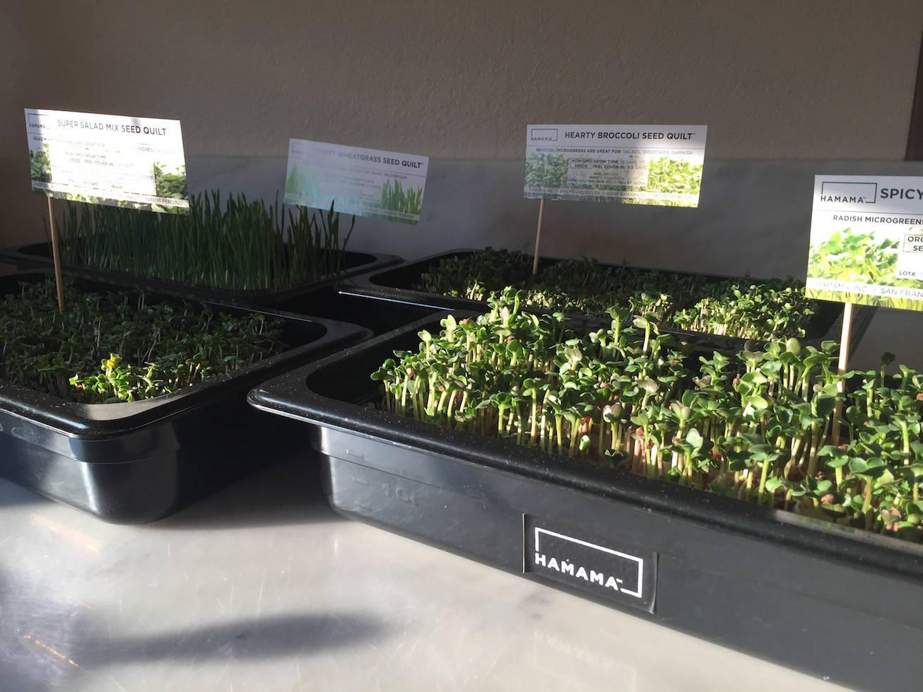 Four microgreens growing kits growing different microgreens.  Daikon radish microgreens, broccoli microgreens, wheatgrass, and salad microgreens.