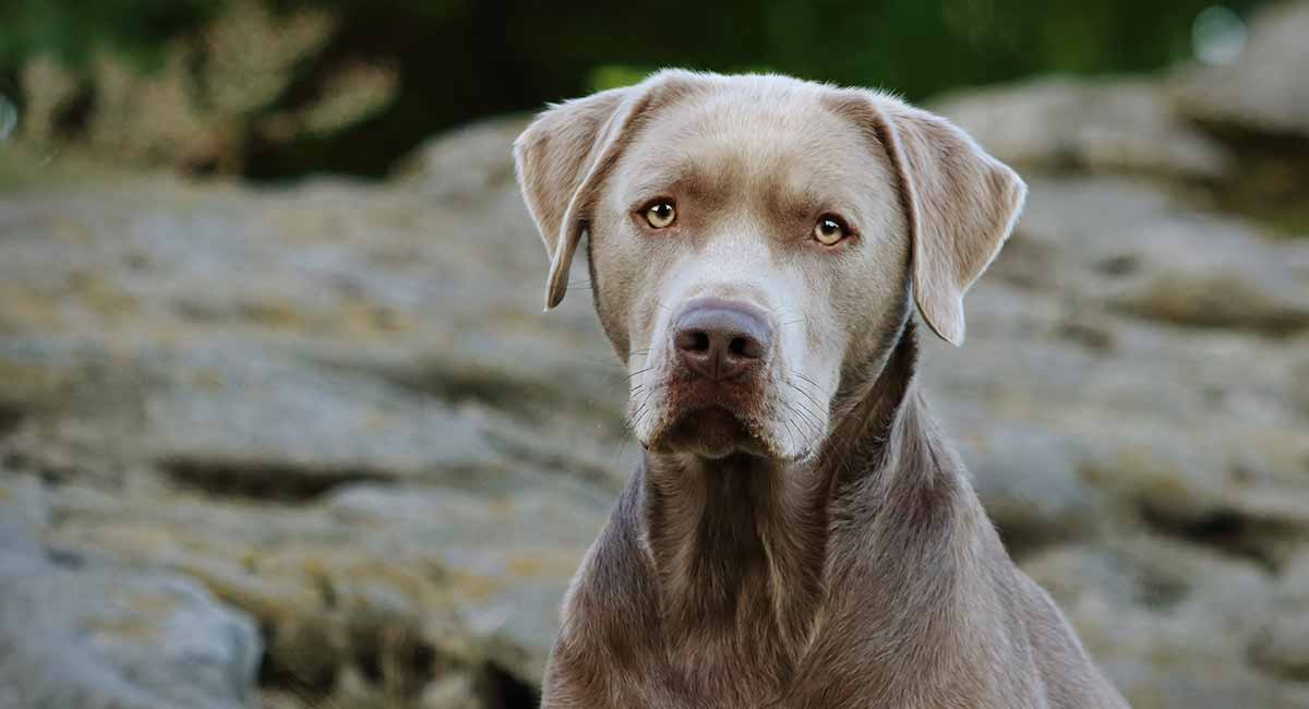 Silver Lab Facts Temperament And Care Guide Petventuresbook