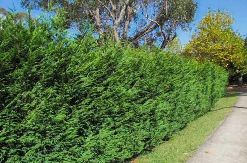 leyland-cypress-tree