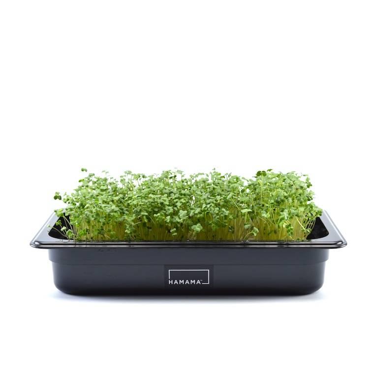 Microgreen kit growing broccoli microgreens.