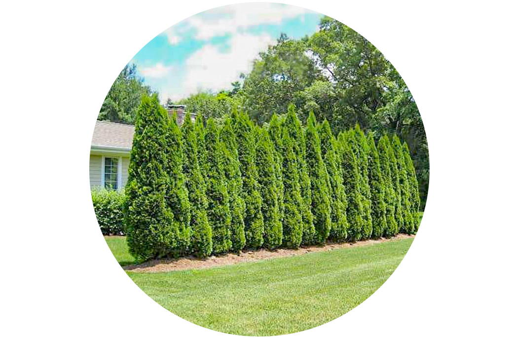Privacy Trees 15 Deer Resistant Options Plantingtree