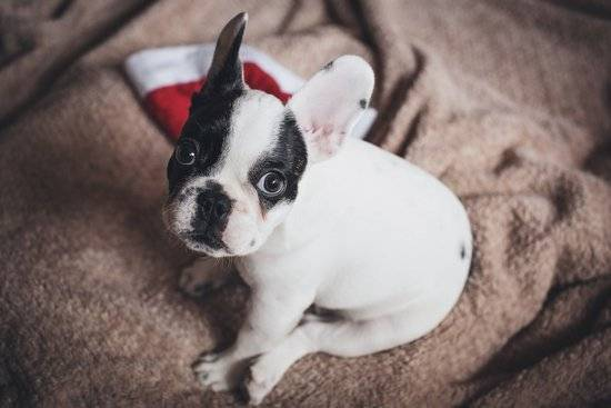 Small white and black Boston terrier sits on a tan blanket