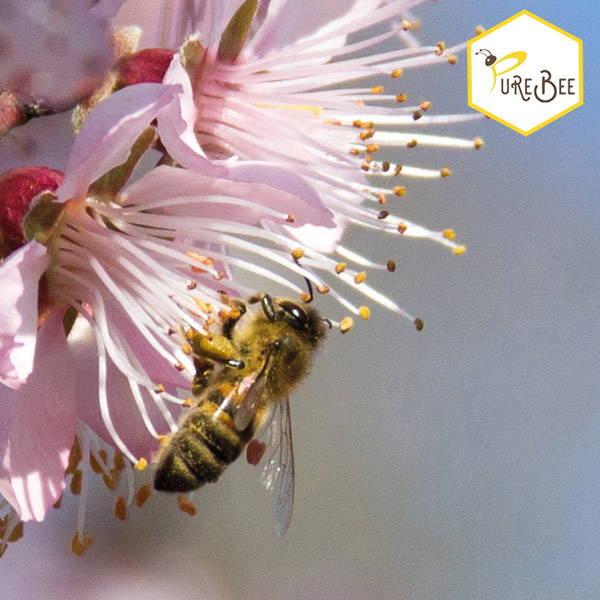Eine Biene saugt Nektar an einer rosa Blüte