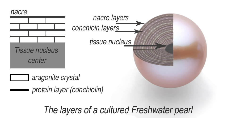 Cross section of Freshwater pearl nacre diagram