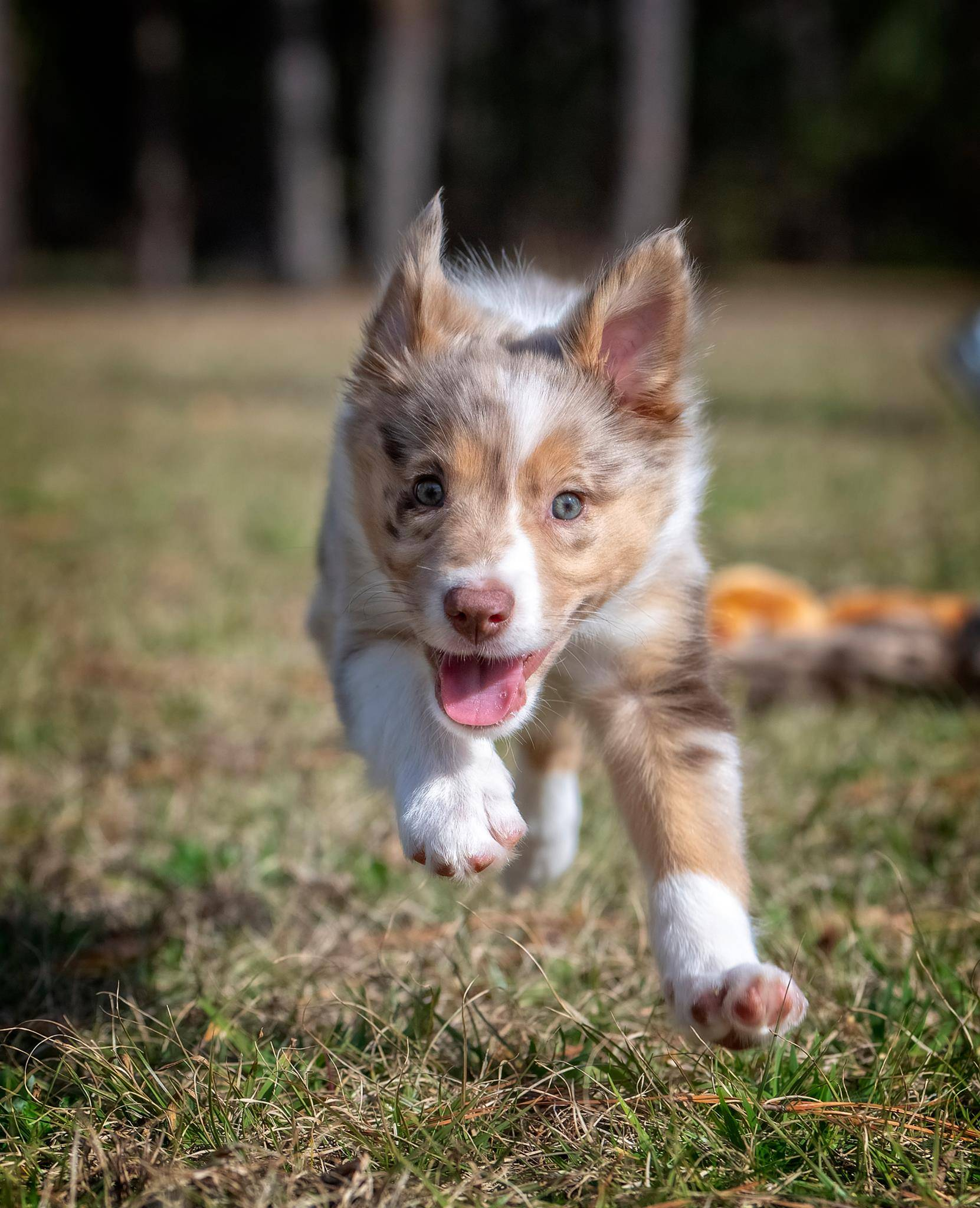 border collie puppy chasing toy