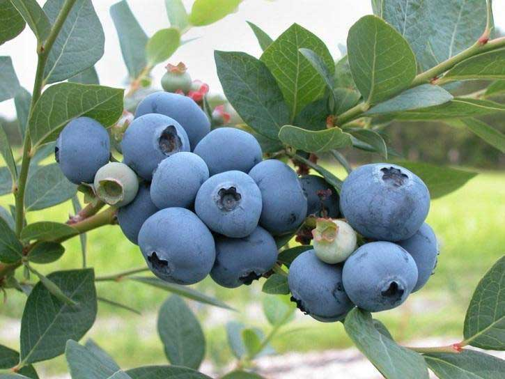 Blueberry Bush Care