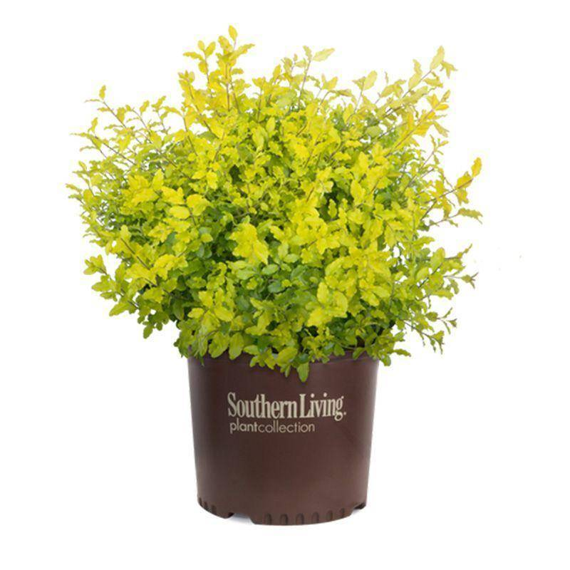 Yellow Shrubs Landscape Options Plantingtree Com