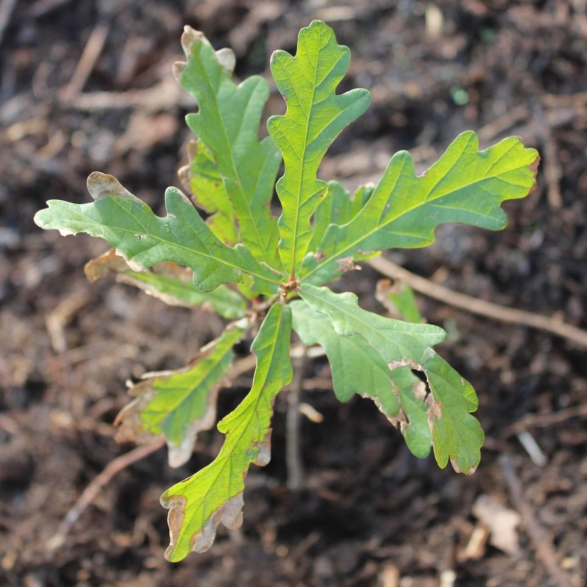 An oak sapling