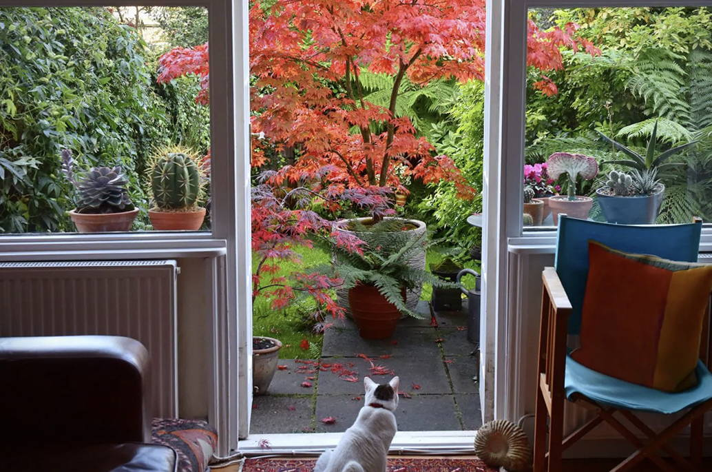 Cat Looking Out At Landscape With Japanese Maple in a Pot