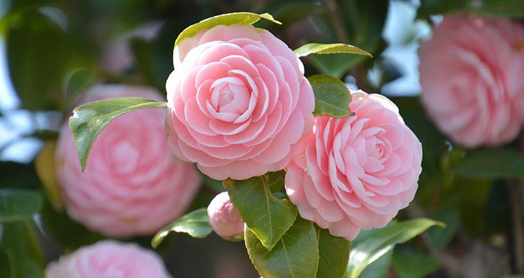 Camellia Japonica - Japanese Rose
