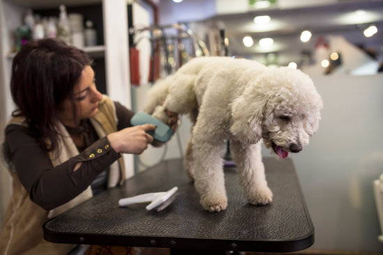 A white poodle is groomed by a groomer while standing on a table