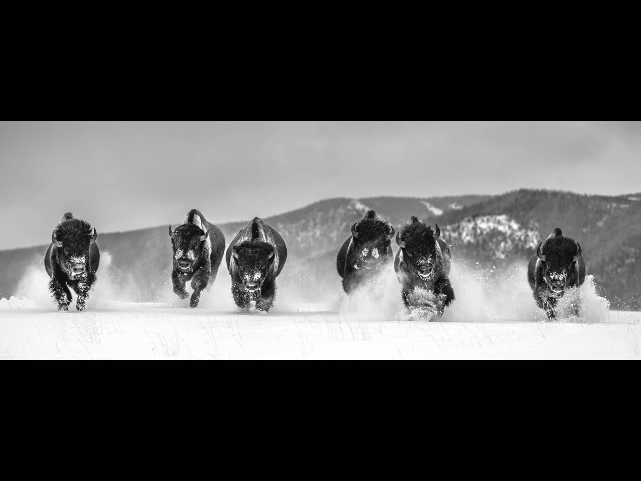 David Yarrow Photography. Wild West Series. Sorrel Sky Gallery. Buffalo running in snowy montana