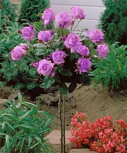 Best Flowering Dwarf Trees