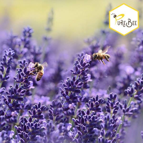Honeybees in lavender field