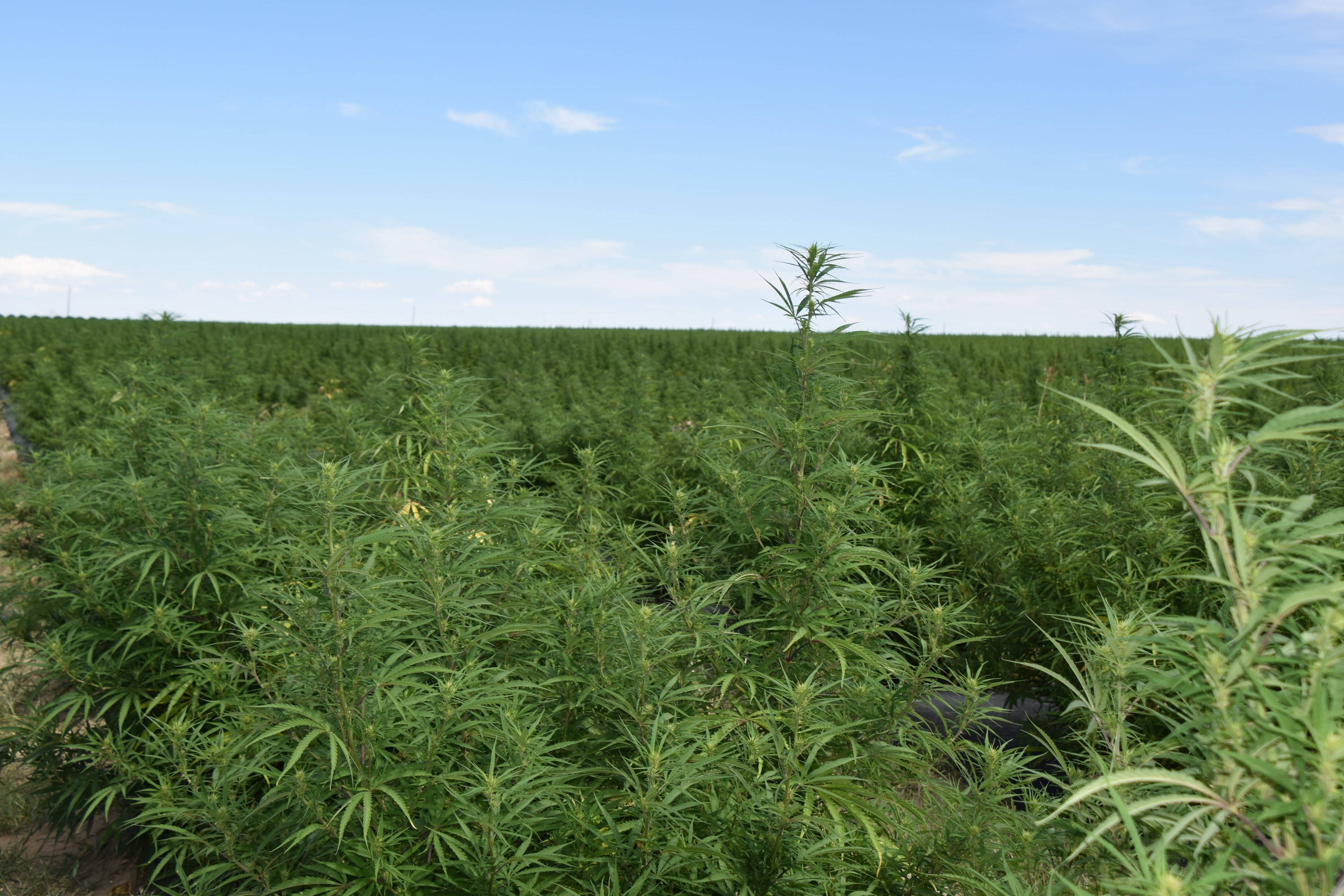 Hemp CBD farm
