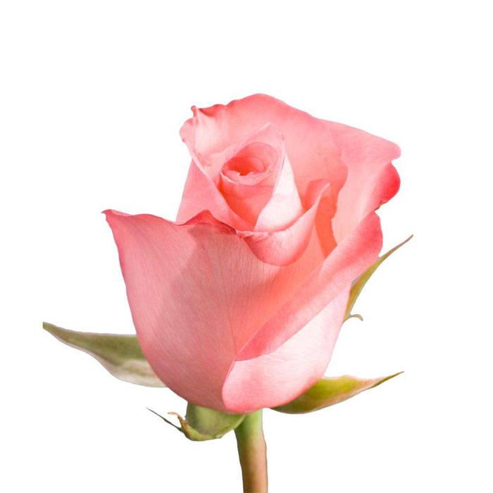 Pink Rose - Oaks Day