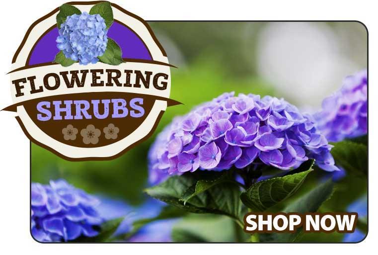 Shop Flowering Shurbs