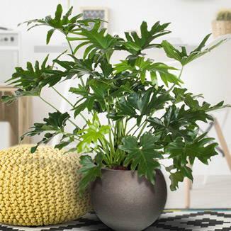 De veelzijdige Philodendron