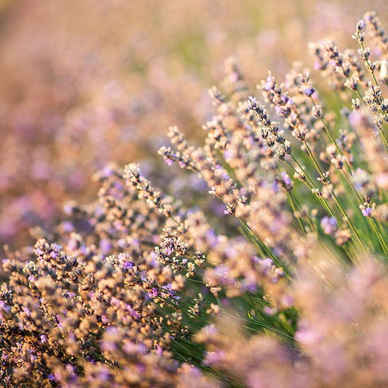 Lavender Harvest Landing Page