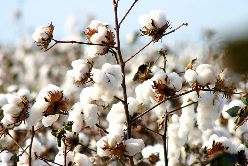 Close-up of cotton buds blooming