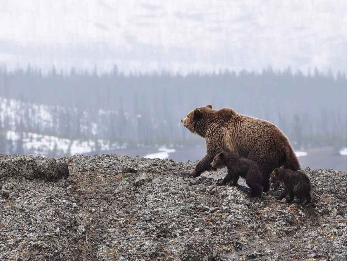 A mother bear and her two cubs walk along a cliff overlooking a landscape of snow and forest
