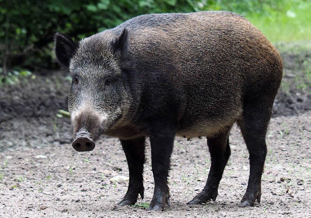 Hog Hunting Gear Wild Boar Buyer S Guide Bushnell