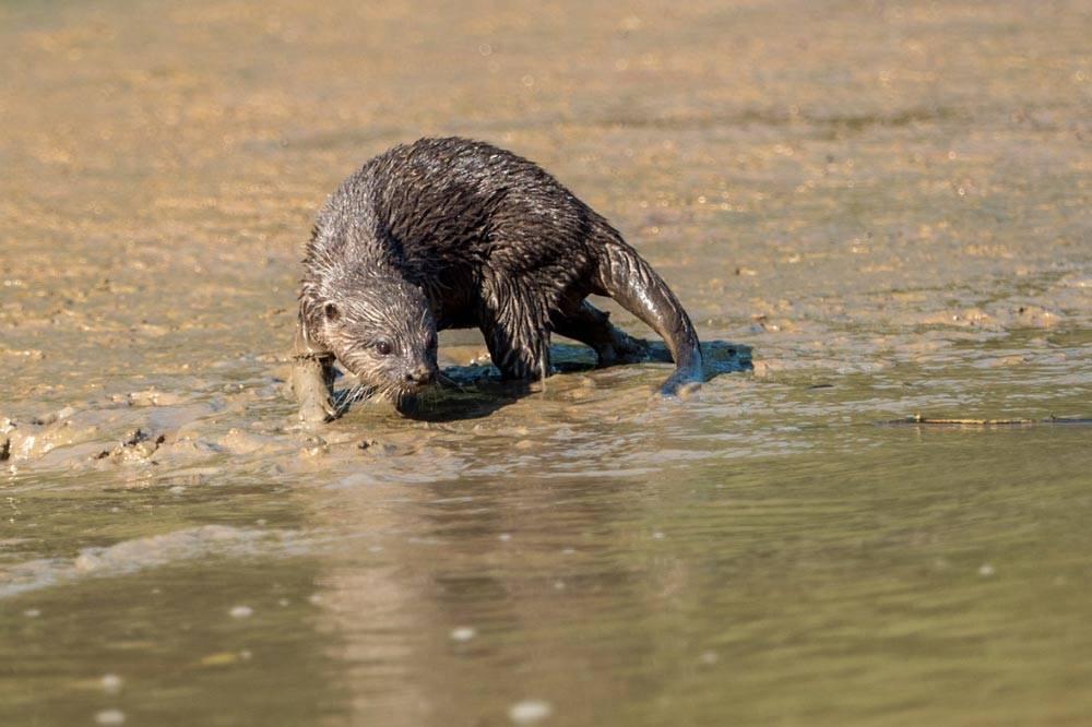 Travelbay Borneo Tours - Customer Reviews - Simon Collard - Kinabatangan River - Hairy nosed otter