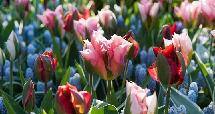 Blumenzwiebeln im Garten pflegen