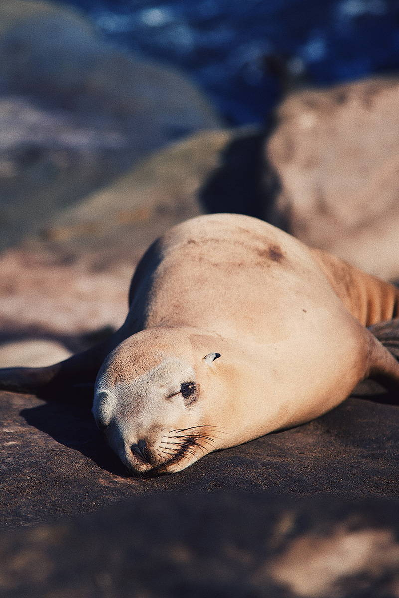 la jolla sea lion