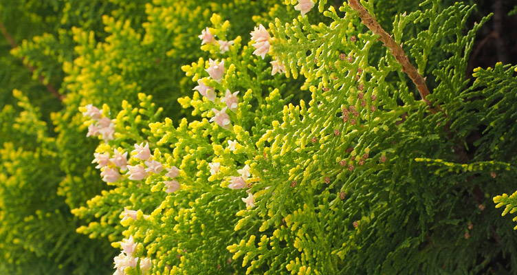Le conifere