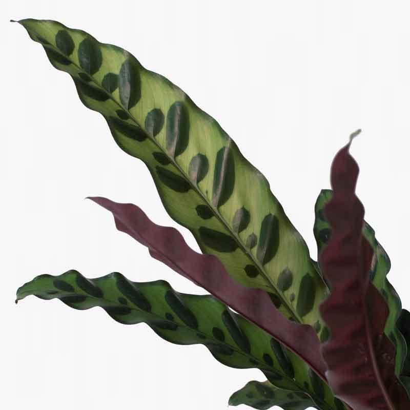Calathea Lancifolia Leaves