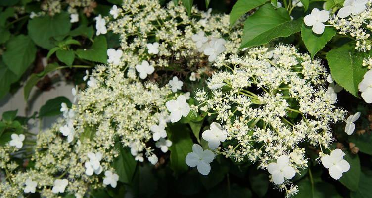 Pruning Climbing Hydrangea