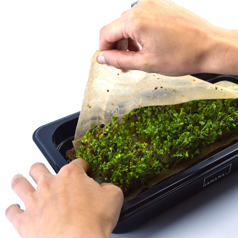 How to grow your own microgreens check in.  Peel the cover to expose the seedlings.