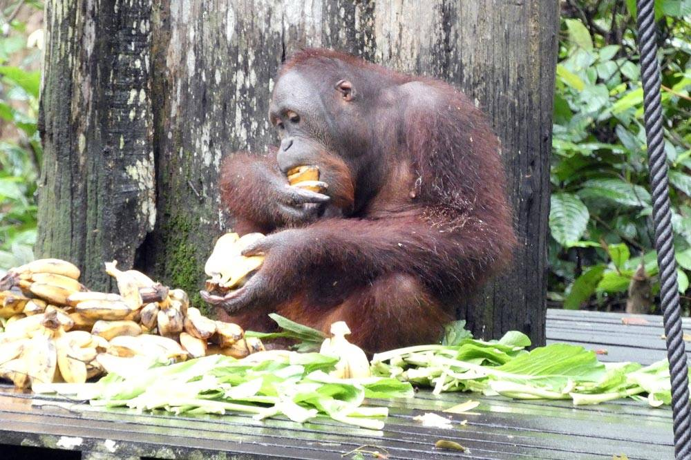 Travelbay Borneo Tours - Neil & Fiona in Borneo - Customer Review - Orang-utan,, Sepilok Rehabilitation Centre