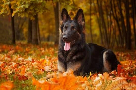 A black and tan German shepherd lay8ing down in a pile of leaves
