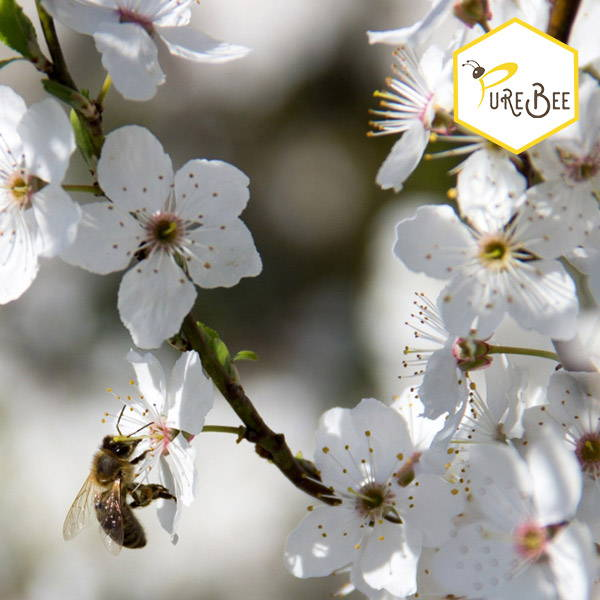 Eine Honigbiene saugt Nektar an einer weißen Blüte