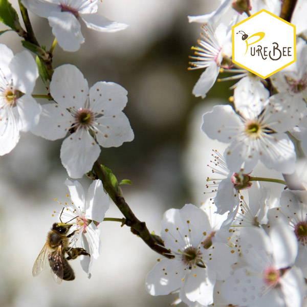 A honeybee sucks nectar on a white flower