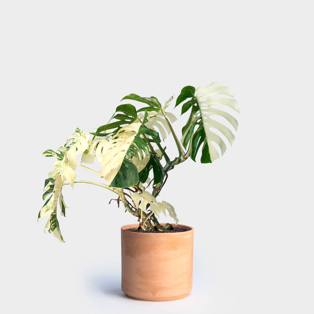Varigated Monstera Plant Care Guide
